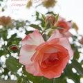 FAVORITE∞フクロウ&モモイロインコ∞…&バラ