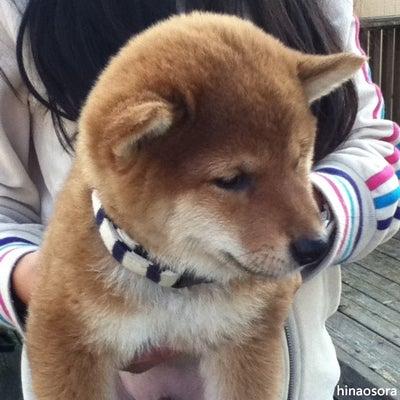 赤柴そらの成長記録~我が家のアイドル犬の記事に添付されている画像