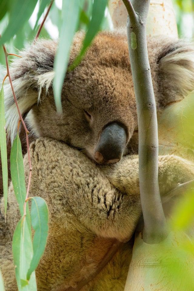 の 生殖器 コアラ