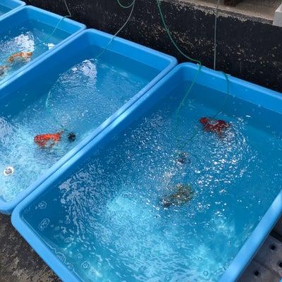 金魚日本一大会準備の記事に添付されている画像