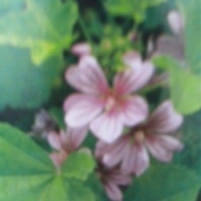 10月28日の誕生花・銭葵(ゼニアオイ)の記事に添付されている画像