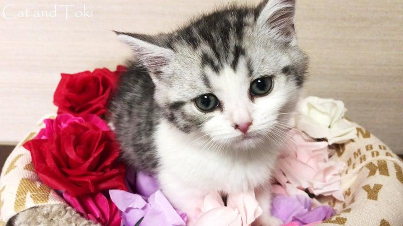 スコティッシュフォールド オス 立ち耳 ショート短毛 子猫販売 猫ブリーダー大阪府