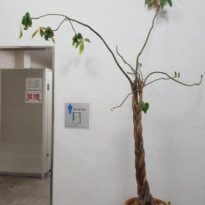 【枯れかけの観葉植物と出会ったので・・・】の記事に添付されている画像