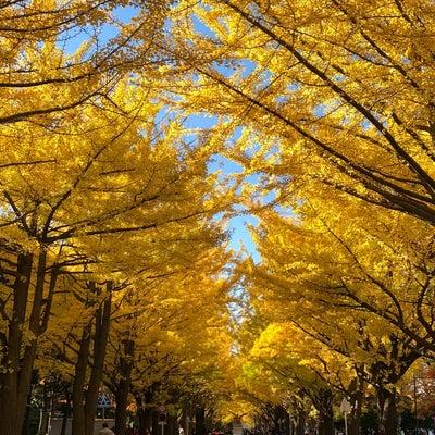北大のイチョウ並木の記事に添付されている画像