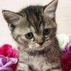 スコティッシュフォールド メス 立ち耳 ショート短毛 子猫販売 猫ブリーダー大阪府の画像