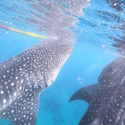 ジンベイザメに会いたくてセブ島オスロブへの記事に添付されている画像