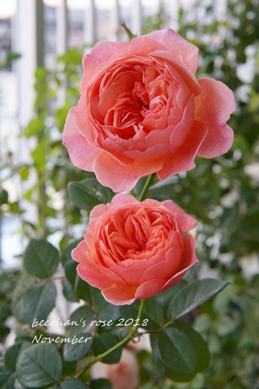 かおりかざり 秋バラ 薔薇 バラ ベランダ