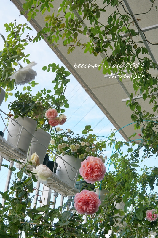 ベランダ バラ 薔薇 バラ栽培