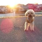 3日の夕方散歩で夕日と・パピーの琥珀です。の記事より