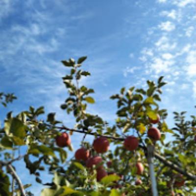 はじめてのりんごの木の記事に添付されている画像