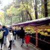 菊祭りの画像