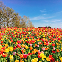 オランダ世界最大フラワーパーク『キューケンホフ公園 2019』春限定の祭典の記事に添付されている画像