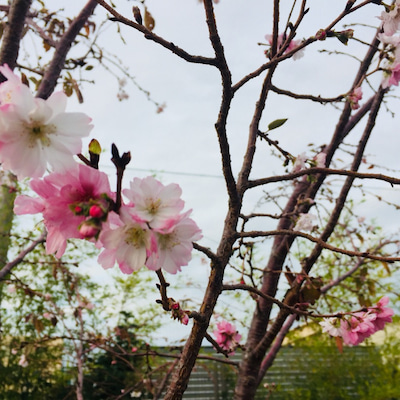 【日常】大阪の道端に桜が♡の記事に添付されている画像