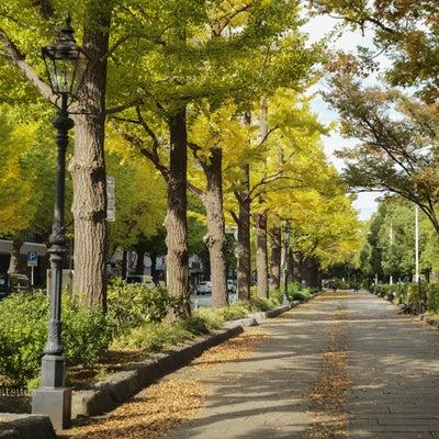 山下公園のイチョウ並木の記事に添付されている画像