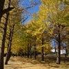 銀杏並木の画像