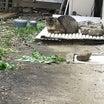 近隣紛争の結果、野良猫も飼い猫も消えた家に瀕死の猫1匹