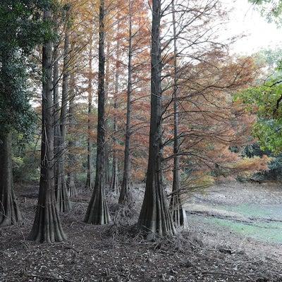 【福岡】篠栗九大の森の落羽松の記事に添付されている画像