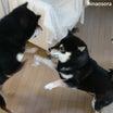 僕も戦う!えっマジ?やっぱり無理です。柴犬多頭飼いの室内遊び