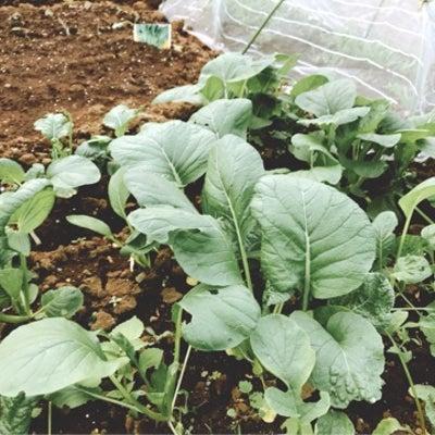 ♪市民農園♪鉄分野菜は順調に育っています☆の記事に添付されている画像