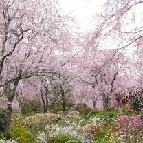 ここがおすすめ〜桜〜【原谷苑】の記事に添付されている画像