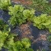 冬野菜生育中❗「生野菜編」の画像