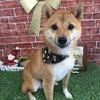 トリコロ's柴犬わんこ!の画像