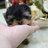 特選犬 超スーパー極小サイズのヨーキ姫の画像