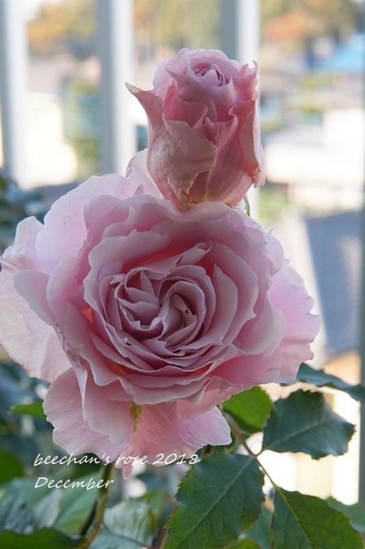 ラマリエ バラ 秋バラ 開花