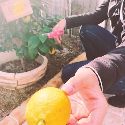 収穫 お庭のレモンの記事に添付されている画像
