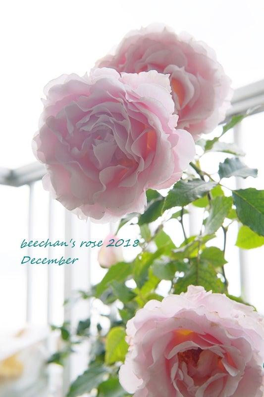 ラマリエ バラ 秋バラ 開花 ベランダ
