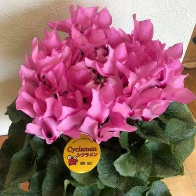シクラメン 杉山花園 龍ヶ崎市のヘアーサロンバーバーヤマナ 理容室 美容の記事に添付されている画像