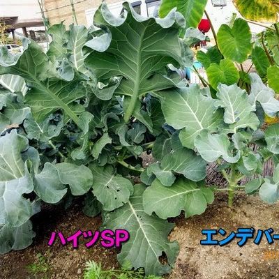 ブロッコリーの側花蕾の成長と収穫の記事に添付されている画像