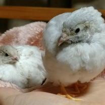 ウズラ孵化のお手伝いについての記事に添付されている画像