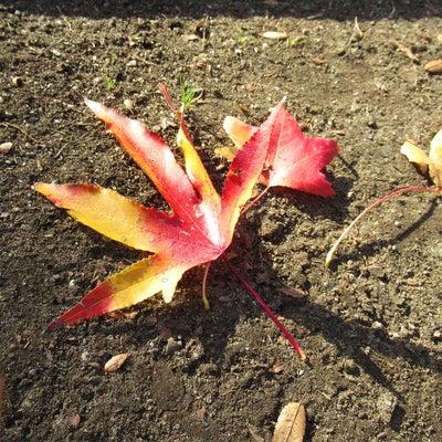 紅葉葉楓(かも^^)の紅葉の記事に添付されている画像