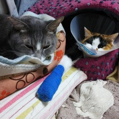 成猫だって【ハルバル+花華】の記事に添付されている画像