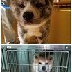 遺棄された秋田犬二頭引き出しました。明日は譲渡会です