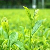 備忘録*茶摘み&和紅茶作り体験の記事に添付されている画像