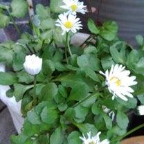 ラナンキュラスを諦めて…ビオラを植えました♡  昨日の事も少しだけ・・・♡の記事に添付されている画像