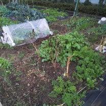 ジャガイモ、ダイコンの収穫の記事に添付されている画像