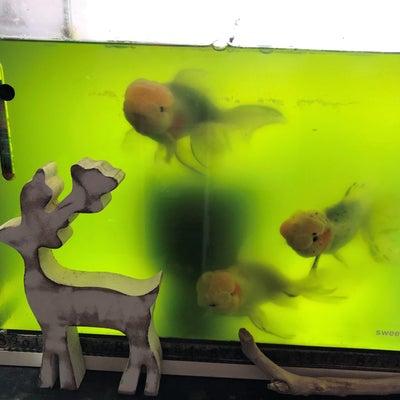 金魚達にもクリスマスの記事に添付されている画像