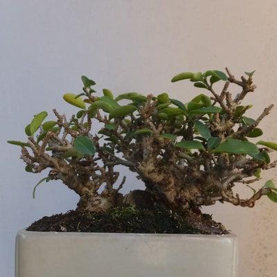 葉刈りして樹形を確認するの記事に添付されている画像