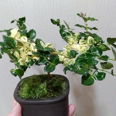 ミニ盆栽 アリドオシの記事に添付されている画像
