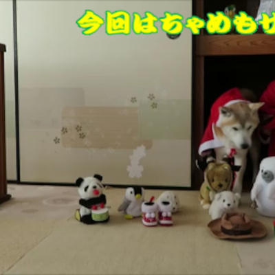 柴犬まめの初めてのクリスマスでハプニング⁉の記事に添付されている画像