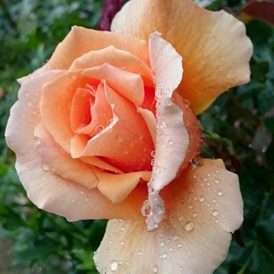 薔薇ジャストジョーイ、墓参り、山茶花、ルリマツリ、ぶっちゃけ、冬より夏が好き?の記事に添付されている画像