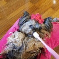 歯ブラシを嫌がった愛犬の記事に添付されている画像
