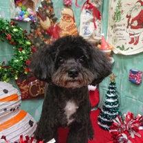 トリミング・ミックス犬・チョーくん♪の記事に添付されている画像