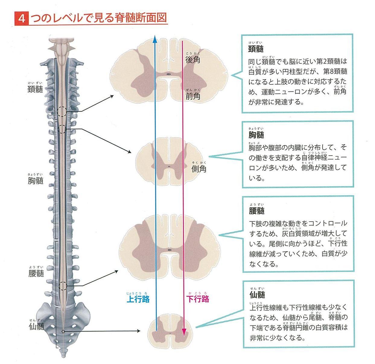 Ⅱ.神経系の構造と機能 脊髄神経のしくみと働き 脊髄の構造