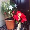 ローズマリーのクリスマスの画像