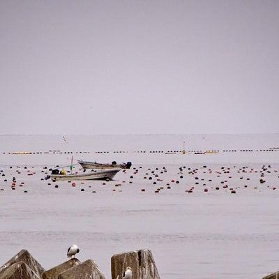 この冬、思わぬ異変に南茅部の養殖真昆布漁家さんは知恵を出し立ち向かっています。の記事に添付されている画像