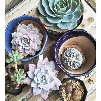 多肉植物年内買い納め (๑>•̀๑)テヘペロの記事に添付されている画像